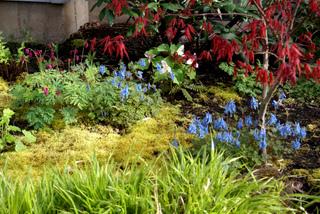 Erable du Japon, corydalis et couvre-sols dorés