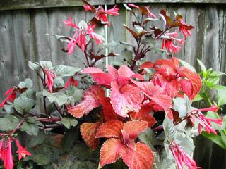 Contraste de couleurs - Fuchsia et Coleus