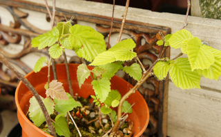 Jeunes noisetiers : futurs bonsaïs