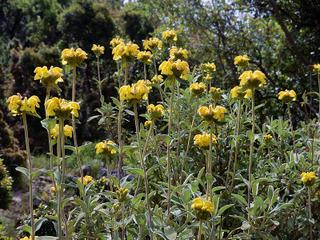 Sauge de Jérusalem - Phlomis fruticosa