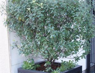 Pittosporum tenuifolium cultivé en bac