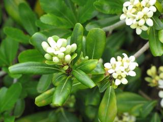 Pittosporum plantation culture esp ces et vari t s - Oranger du mexique feuilles jaunes ...