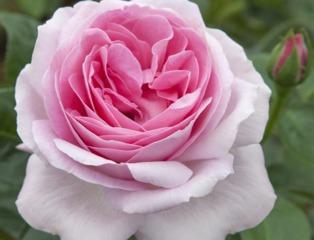 Rose Pink Eureka®