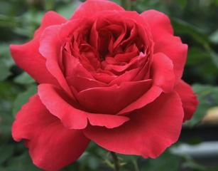 Rose Ruban Rouge®