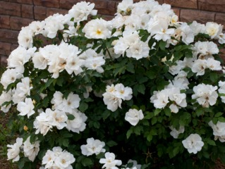 Rosier White Knock Out® - Meilland