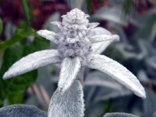 Stachys byzantina, Stachys lanata - Fleurs