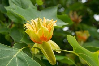 Fleur de tulipier - Liriodendron tulipifera