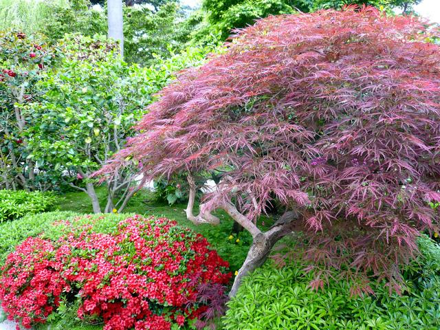 Jardin japonais d couverte caract ristiques et v g taux - Plantes pour jardin japonais exterieur ...