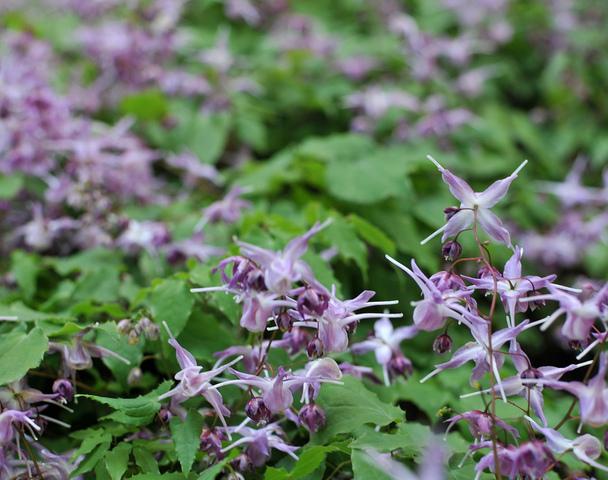 Epimedium : semis, plantation, culture