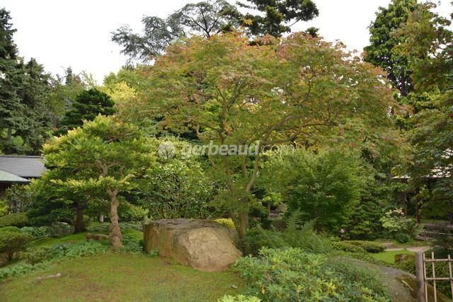 Erable du japon acer palmatum - Le jardin d erables ...