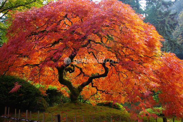 Erable du japon acer palmatum - Erable rouge du japon ...