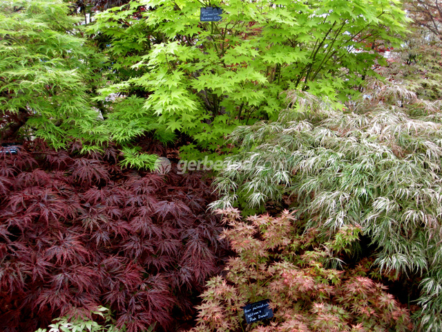 Erable du japon acer palmatum for Plante verte japonaise