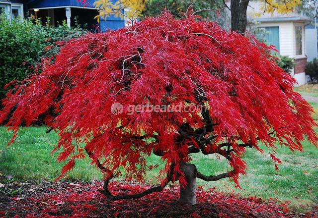 Erable du japon acer palmatum - Les plus beaux arbustes persistants ...