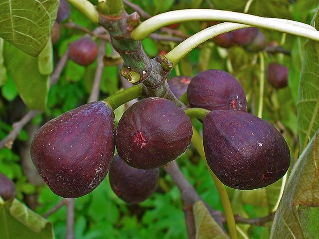 Figuier : un fruitier pour petits et grands jardins