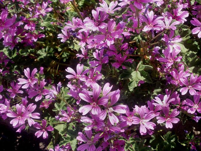 Lavatère : de longs mois de fleurs
