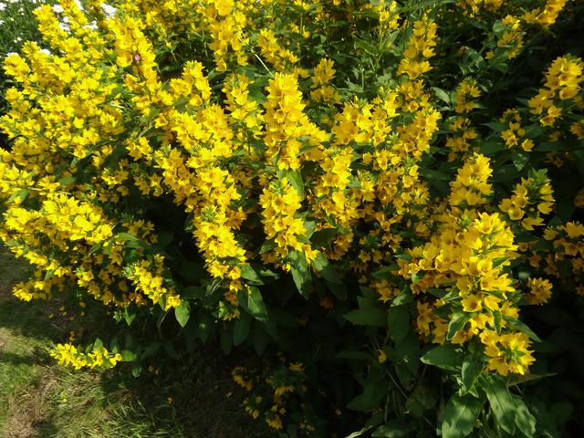Lysimaques : semis, plantation, culture