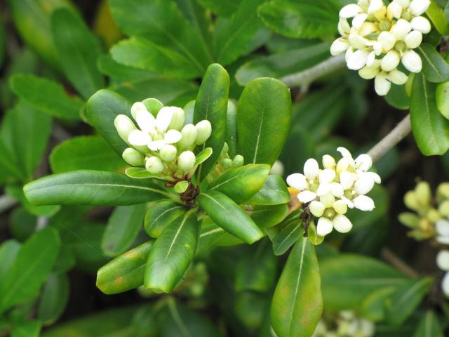 Pittosporum : plantation, culture, espèces et variétés