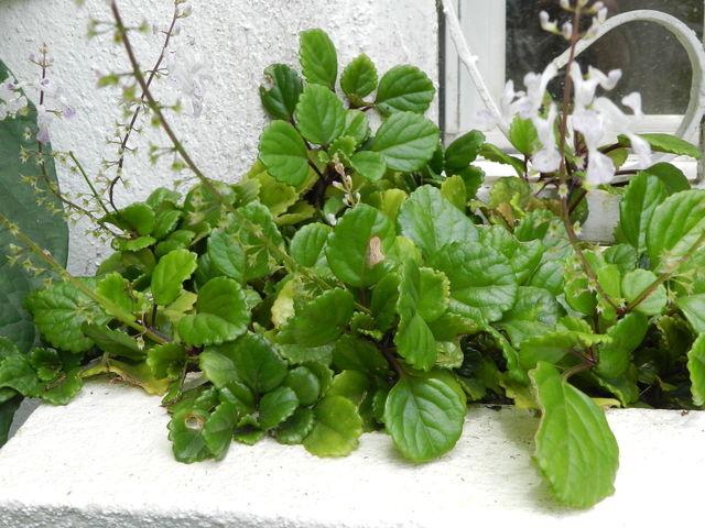 Plectranthus australis lierre su dois plantation for Plante pour tous