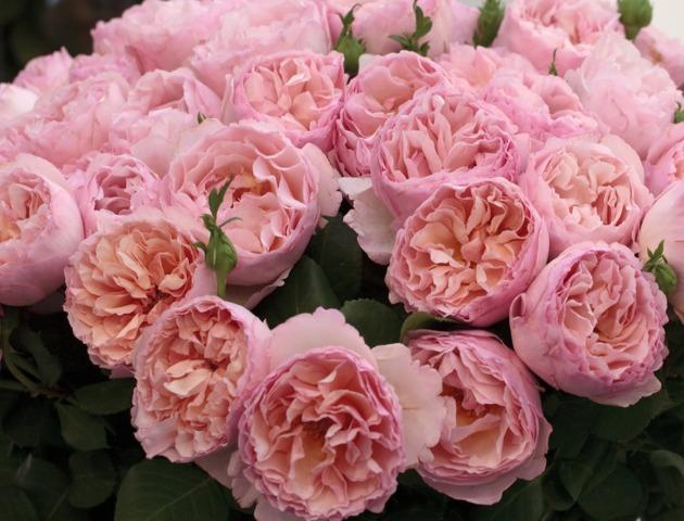 Roses Meilland : nouveaux rosiers pour l'automne 2014