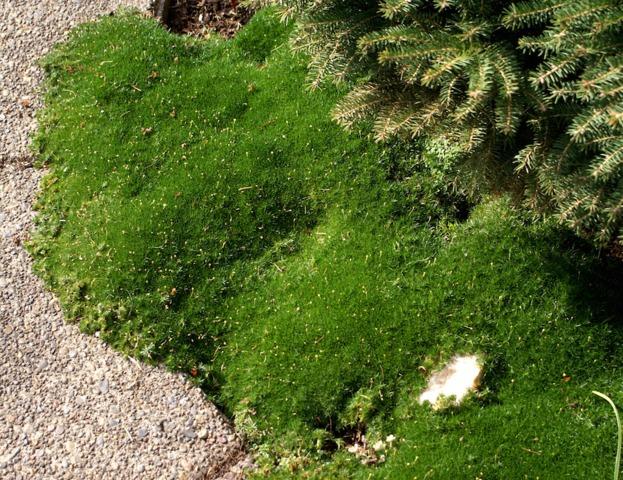Sagine plantation culture et entretien for Jardin japonais plantes couvre sol
