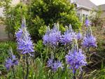 Des fleurs pour terres lourdes ou argileuses