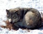 La chasse au loup bientôt généralisée ?