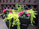 Les plantes à feuillages décoratifs