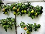 Arbres fruitiers pour petits jardins