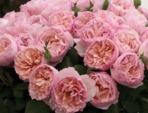 Meilland : de nouveaux rosiers pour l'automne 2014