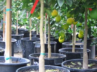 Citrus vendus en pots en jardinerie