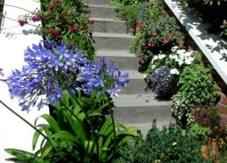 Agapanthes et fuchsias le long d'un escalier