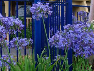 Agapanthes plantées devant une grille bleue