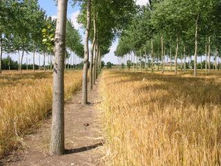 un arbre au potager entre jardin for t et agroforesterie. Black Bedroom Furniture Sets. Home Design Ideas
