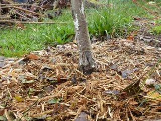 Fertilisation d'un arbre fruitier par paillis