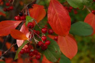 Aronia arbutifolia en automne