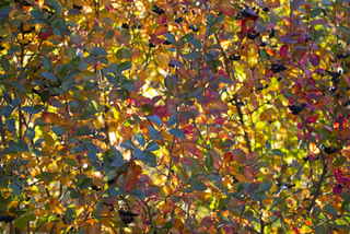 Aronia en automne