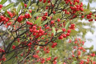 Aronia arbutifolia - Baies (drupes)