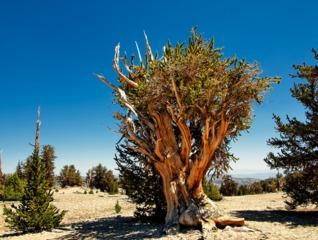 Pinus longaeva - Pin de Bristlecone (4800 ans)