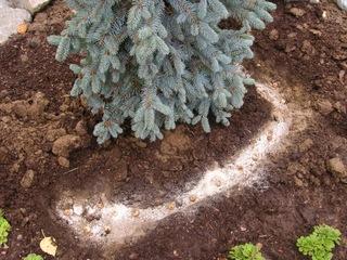 Plantation de bulbes de chionodoxa au pied d'un sapin