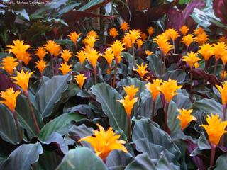 Calathea crocata en fleurs