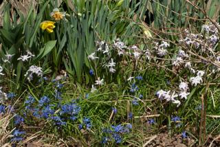 Chionodoxa bleus et roses et jonquilles
