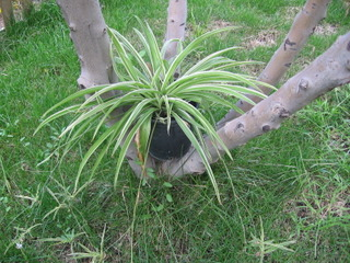 Chlorophytum en pot dans le jardin