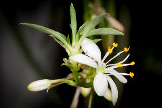 Chlorophytum : stolon portant une fleur et une plantule