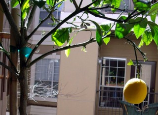 Citronnier cultivé en pot sur un balcon