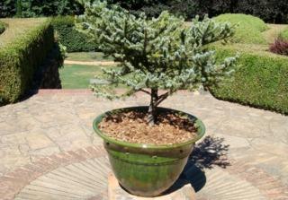 Conifère bleu nain cultivé en pot
