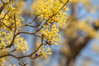 Cornus mas (cornouiller mâle) en fleurs