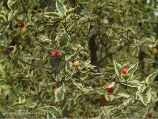 Cornus mas 'variegata' (cornouiller mâle panaché)
