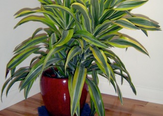 planter un dracaena