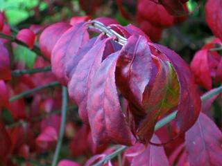 Fusain ailé - Feuillage d'automne
