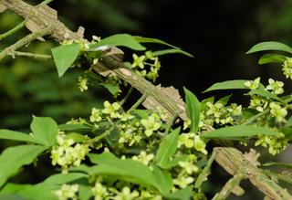 Eunoymus alatus (ailes liégeuses et fleurs)